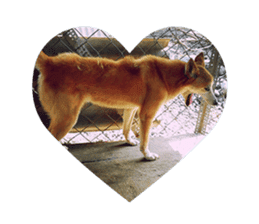 Cute Shiba Inu DOG 2 sticker #14689616