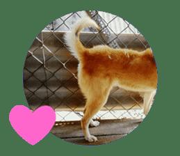 Cute Shiba Inu DOG 2 sticker #14689618