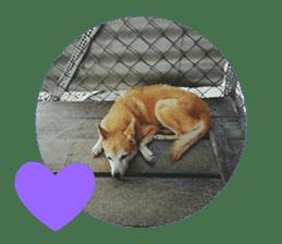Cute Shiba Inu DOG 2 sticker #14689622