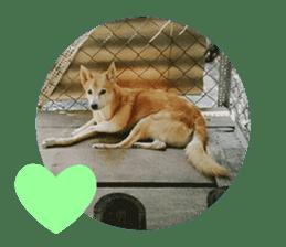 Cute Shiba Inu DOG 2 sticker #14689623