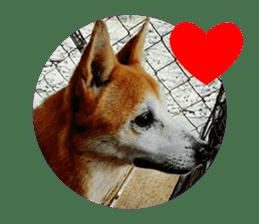 Cute Shiba Inu DOG 2 sticker #14689624