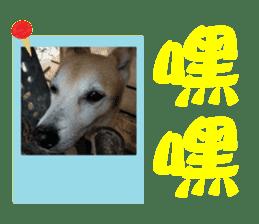 Cute Shiba Inu DOG 2 sticker #14689627
