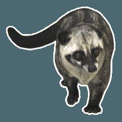 Mumu the Cute Asian Palm Civet