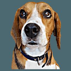 หมาน้อยบีเกิ้ลลีโอ