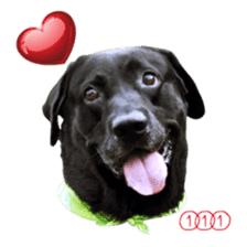 P. Black Labrador sticker #14945686