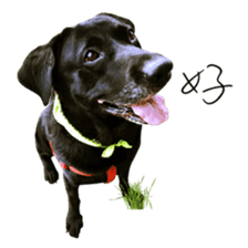 P. Black Labrador sticker #14945687
