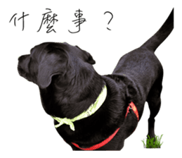 P. Black Labrador sticker #14945688