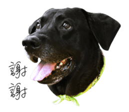 P. Black Labrador sticker #14945692