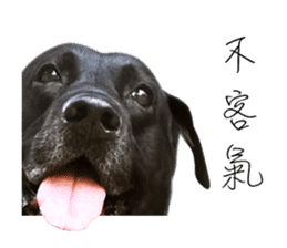 P. Black Labrador sticker #14945694