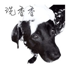 P. Black Labrador sticker #14945696