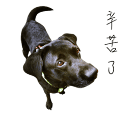 P. Black Labrador sticker #14945699