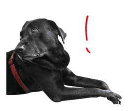 P. Black Labrador sticker #14945700