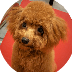 Toy Poodle Lion part3