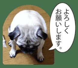 Pretty Pug!5 sticker #15032612