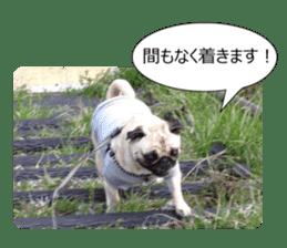 Pretty Pug!5 sticker #15032617