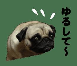 Pretty Pug!5 sticker #15032624