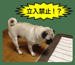 Pretty Pug!5 sticker #15032641