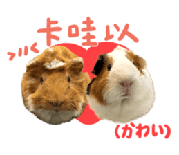 Guinea pig : eat & sleep - photo vol. 2 sticker #15156102