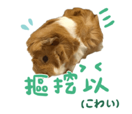 Guinea pig : eat & sleep - photo vol. 2 sticker #15156103