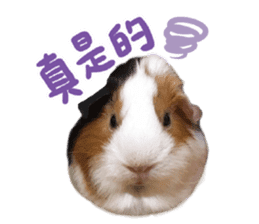 Guinea pig : eat & sleep - photo vol. 2 sticker #15156105