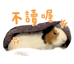 Guinea pig : eat & sleep - photo vol. 2 sticker #15156112