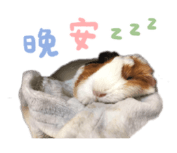 Guinea pig : eat & sleep - photo vol. 2 sticker #15156123