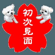 สติ๊กเกอร์ไลน์ Seal shop of a Maltese dog. (Taiwanese)