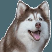 สติ๊กเกอร์ไลน์ น้องหมาไซบีเรียนจอมซ่าส์และเพื่อน
