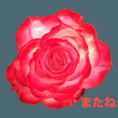 สติ๊กเกอร์ไลน์ rosepottokyo_20210608131357