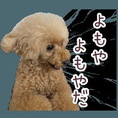 สติ๊กเกอร์ไลน์ I'm a toy poodle mocha.