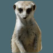 สติ๊กเกอร์ไลน์ Meerkat -Suricata suricatta (photos)