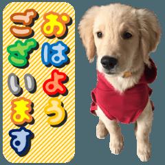 ゴールデンの子犬の日常会話(敬語、写真付)