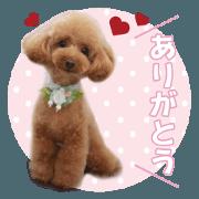 สติ๊กเกอร์ไลน์ sora toy poodle Sticker 3