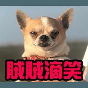 สติ๊กเกอร์ไลน์ Just like Chihuahua