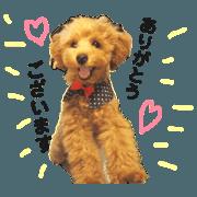 สติ๊กเกอร์ไลน์ Toy poodle Leche!