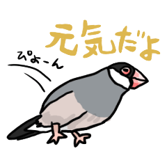 Java sparrow Chappy