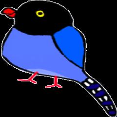 Formosan Blue Magpie yamamusume
