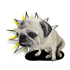 Lovely Pug Stickers global(animation)