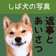 【柴犬写真】よく使う返事とあいさつ - クリエイターズスタンプ